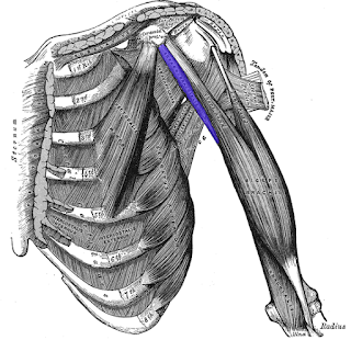 coracobrachialis muscle, action, muscle picture