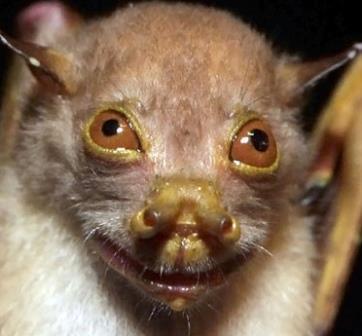 kelelawar yoda,adalah spesies kelelawar paling mengerikan di dunia