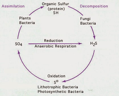 diagram of the carbon and nitrogen cycle microbe hunter