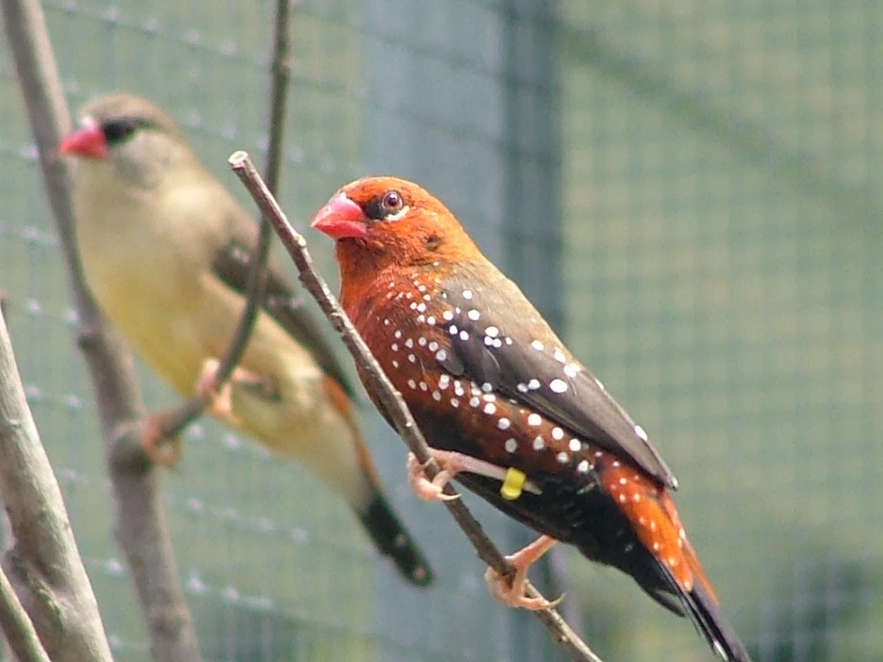 Burung Strawberry Finch Jual Burung Strawberry Finch