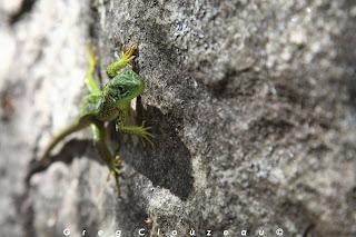 LEZARD VERT (Lacerta bilineata), femelle