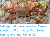 http://sciencythoughts.blogspot.co.uk/2017/11/salangathelphusa-peractio-new-species.html