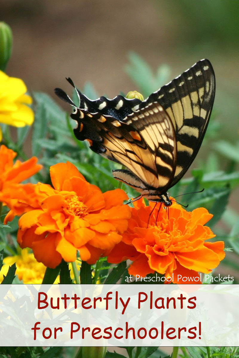 Butterfly Plants For Preschoolers
