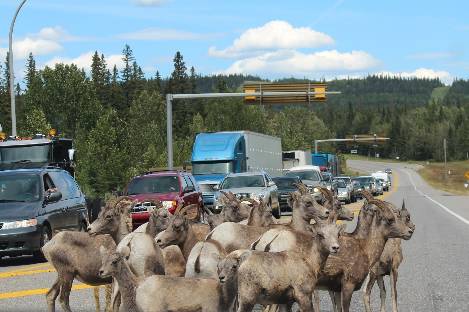 Funny picture of mountain goats stuck in traffic.