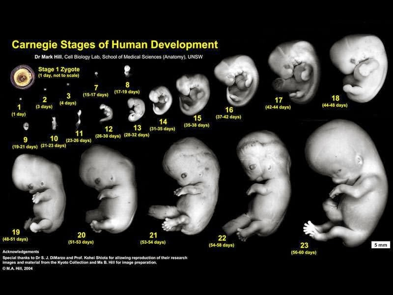 what are the stages of conception