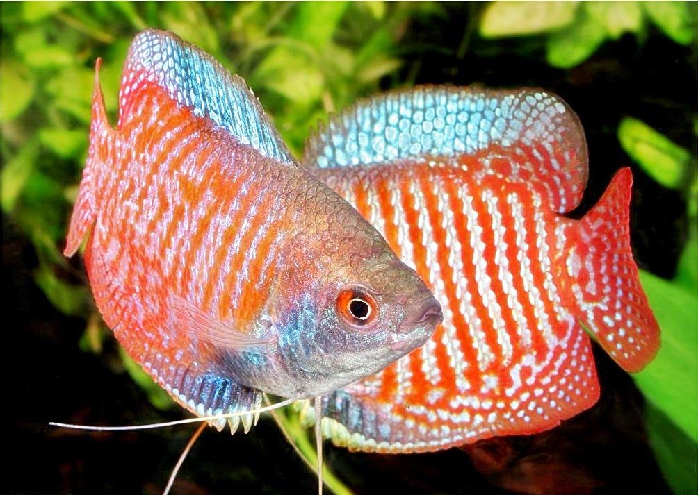ikan gurame hias