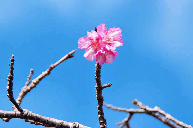 Single cherry blossom reaching the sky