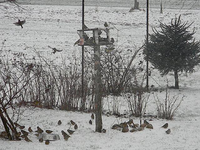 ptaki, zima, śnieg, krzewy