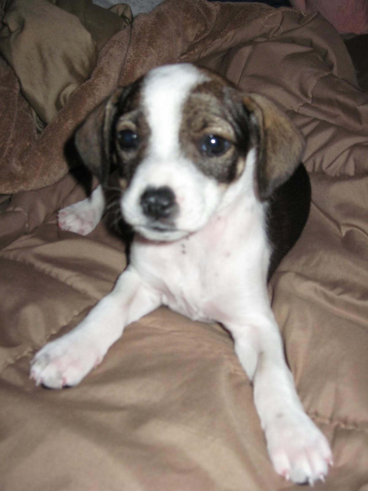 Cheagle Puppies For Sale