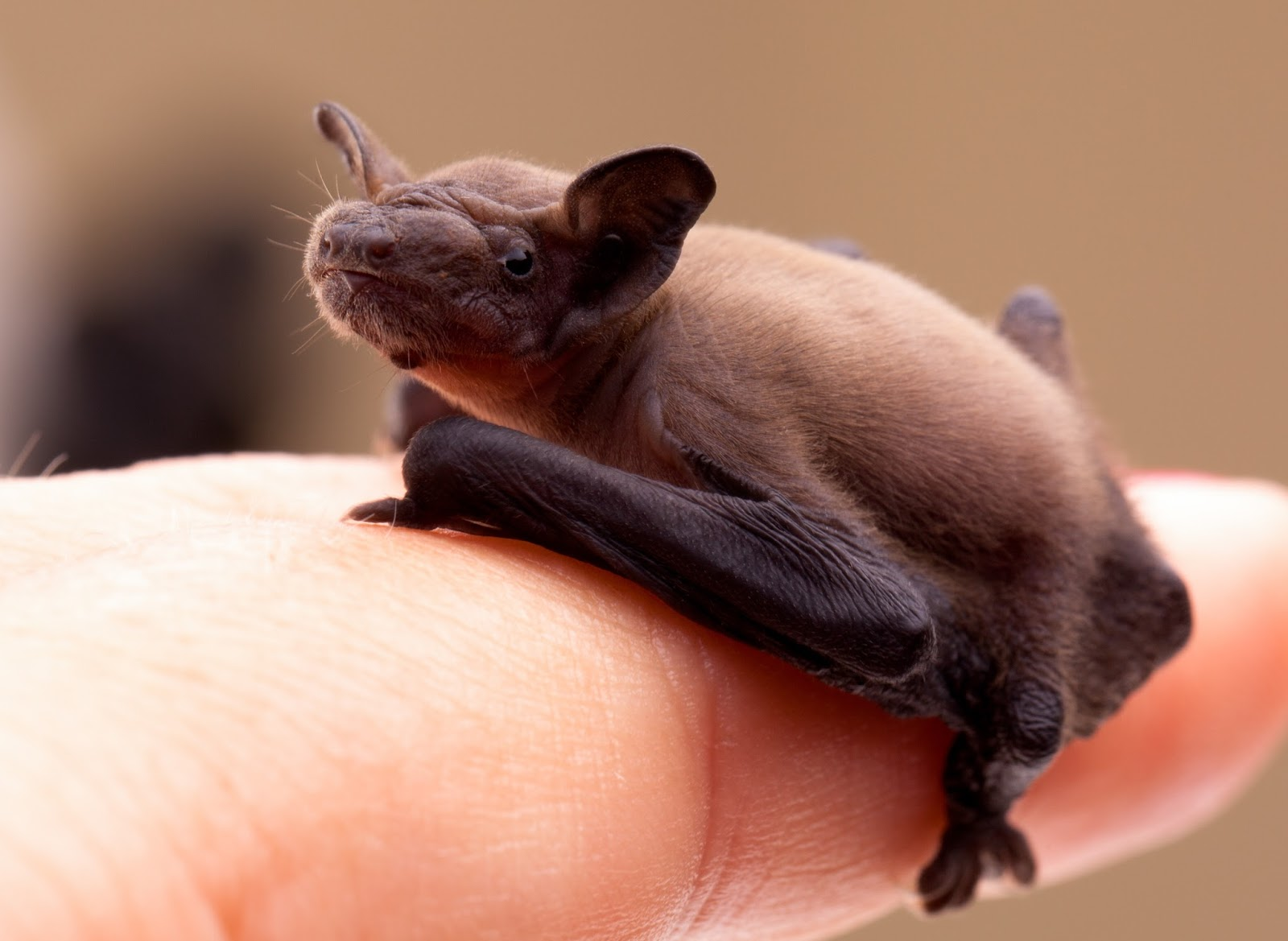 Click Here For Free Facts About Bats And Rabies From The