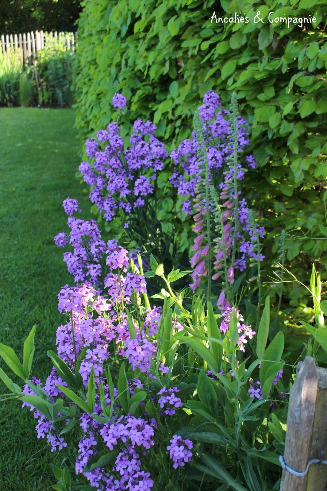 Ancolies compagnie de la couleur pastel au jardin for Au jardin des couleurs