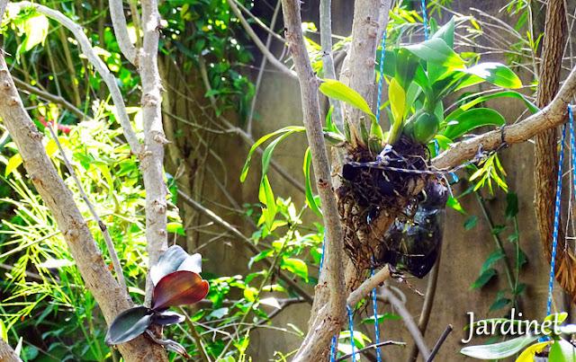Replante de orquídeas na árvore