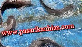 Jual Ikan Lele Sangkuriang Konsumsi