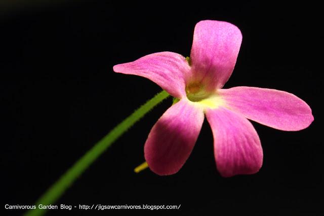 P_ema_mor_ehl_flower.JPG