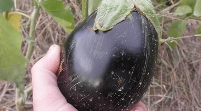 Guía para cultivar Berenjenas