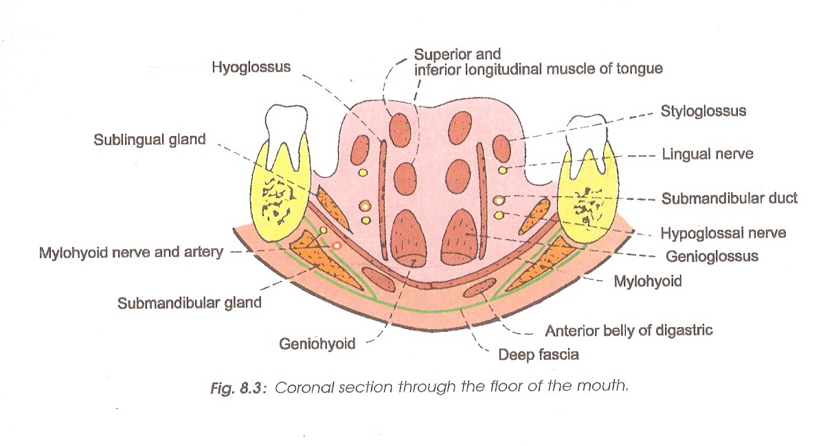 Floor Of Mouth Surgical Anatomy Flisol Home