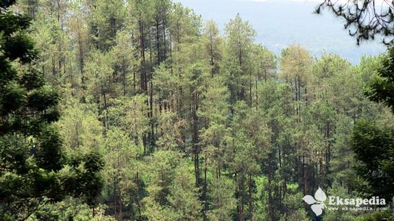Pepohonan Pinus Di Merbabu