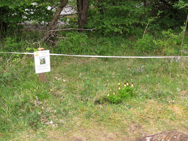 Stolen Lady's Slipper - Gait Barrows, Cumbria