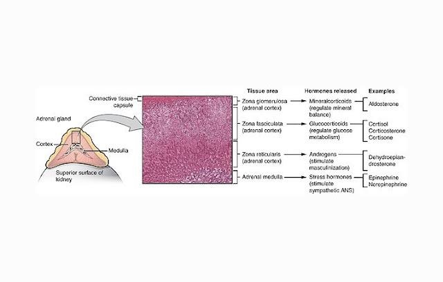 Struktur Kelenjar Adrenal