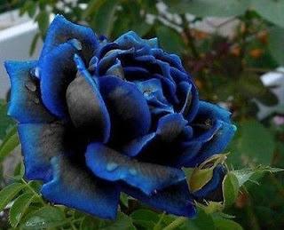 benih-midnight-supreme-rose.jpg