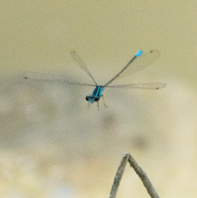 Mexican Wedgetail (Acanthagrion quadratum)