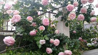 うちの庭で咲いたバラの花