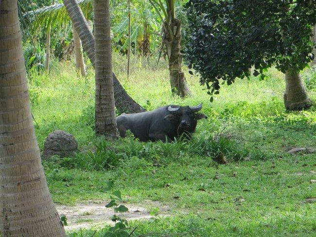 Большой буйвол лежит под пальмой