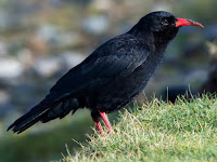 Chough Bird Animal Pictures