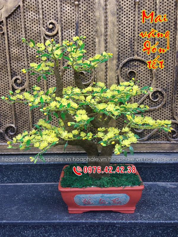 Goc bonsai cay hoa mai o Tay Ho