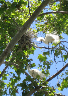 Pair of Snowy Egrets courting near a nest, Mountain View, California