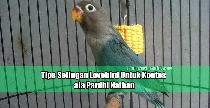 tips setingan lovebird untuk kontes ala pardhi nathan