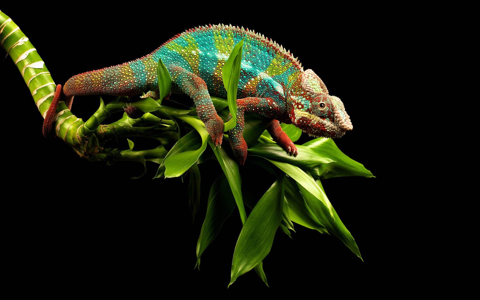 Chameleons For Free