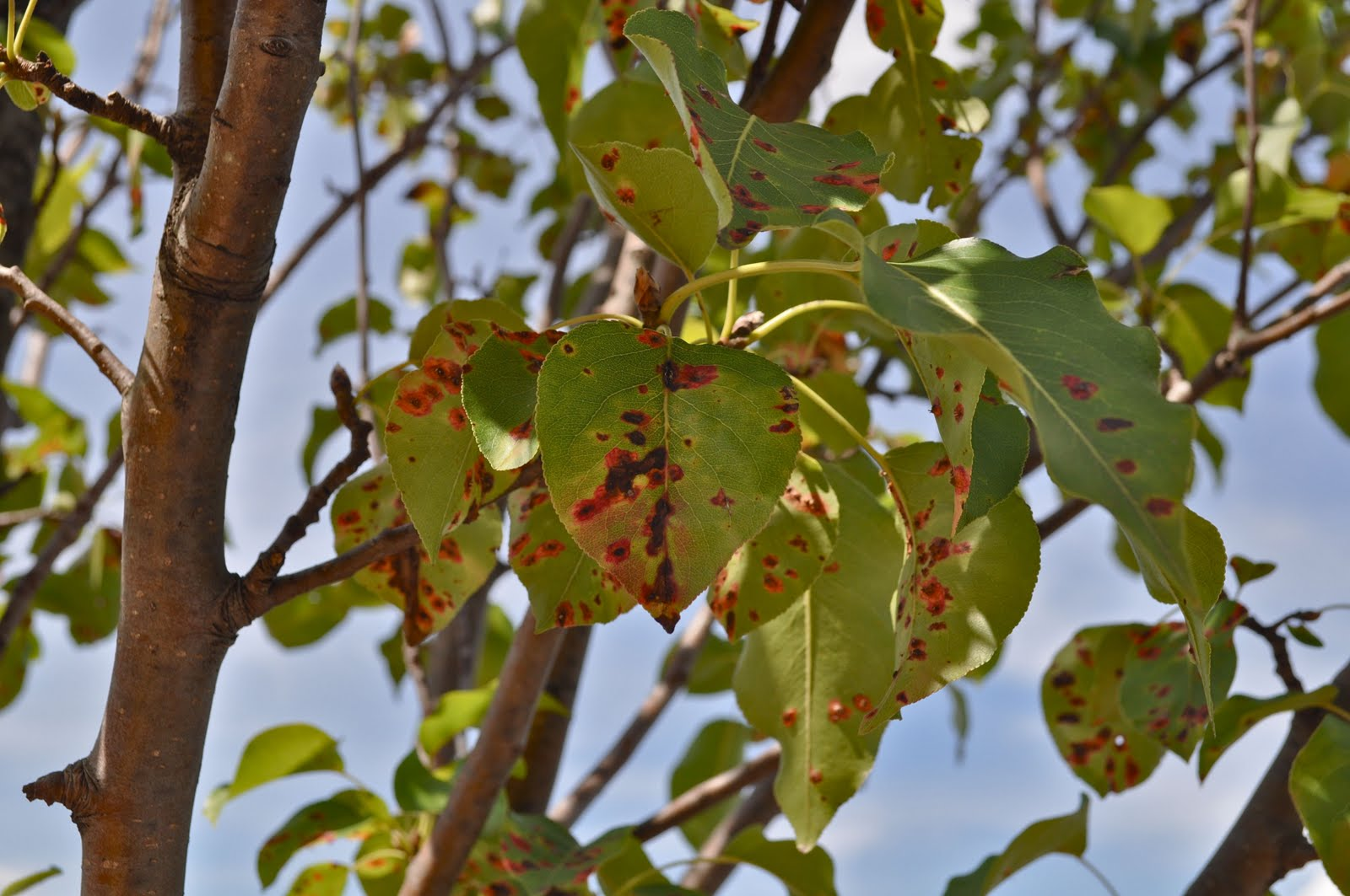Bradford Pear Tree Diseases Pictures