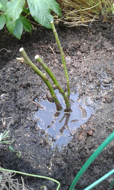 David Austin Roses planting watering