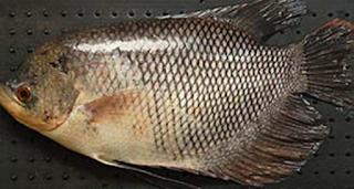 Teknik Mempercepat Pertumbuhan Ikan Gurame  Kabar Terbaru- 5 TEKNIK MEMPERCEPAT PERTUMBUHAN IKAN GURAME
