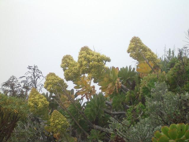 Aeonium arboreum subsp. arboreum x percarneum 09
