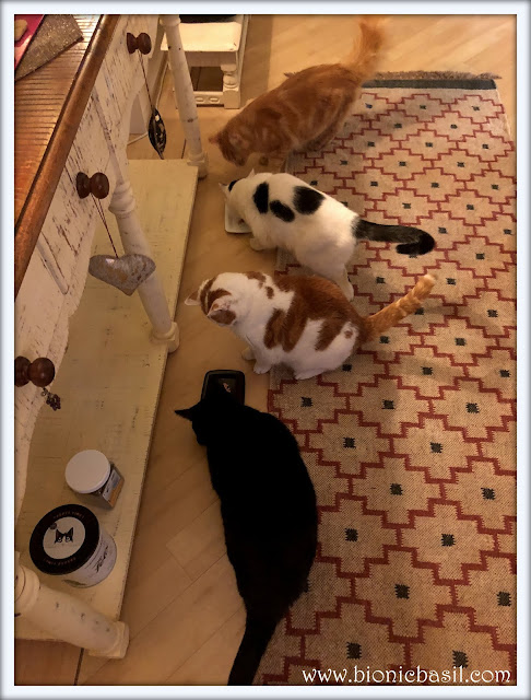 Tuna Time with Parsley, Smooch, Amber and Fudge @BionicBasil four cats having tuna in springwater