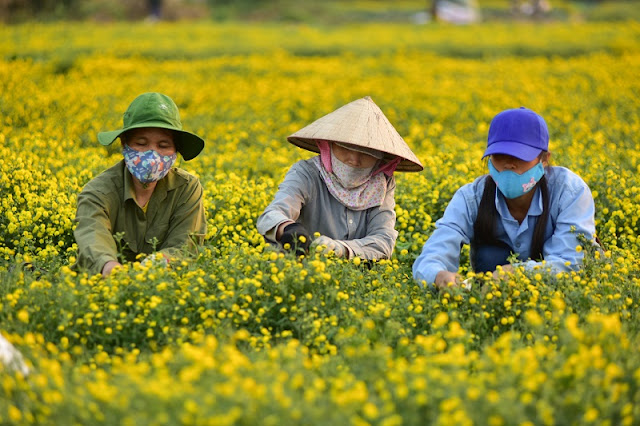 It's all yellow at Vietnamese herb flower gardens 2
