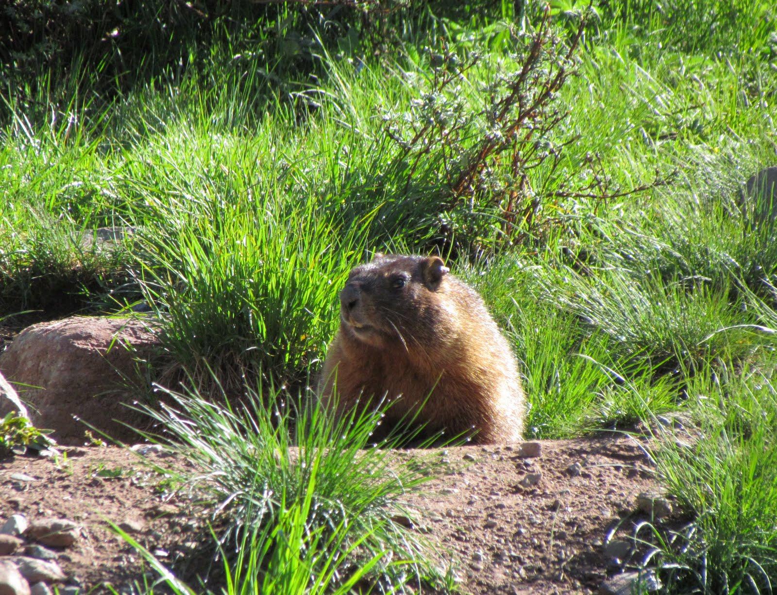 Marmot minutes: Marmot days of summer