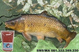 Umpan Ikan Mas Subang Khusus Di Kolam