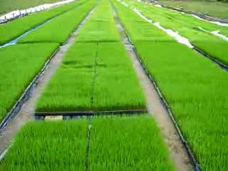 Persemaian Pada Pertanian Organik Padi