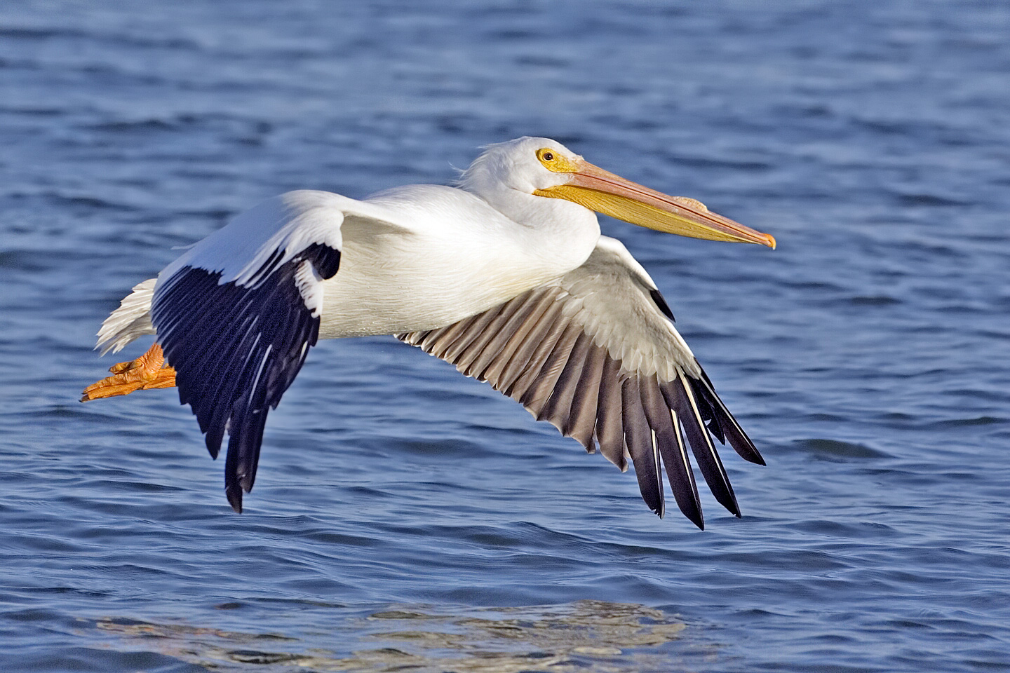 The White Pelican Bird Facts With New Photographs The