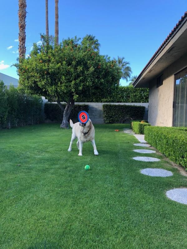 Labrador Cooper enjoying his garden