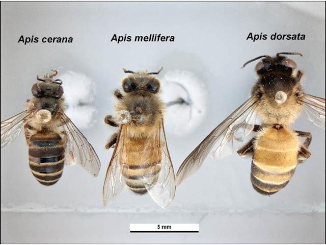 Έρευνα που φέρνει τα πάνω κάτω στην γενεαλογία της μέλισσας
