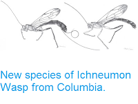 http://sciencythoughts.blogspot.co.uk/2012/08/new-species-of-ichneumon-wasp-from.html