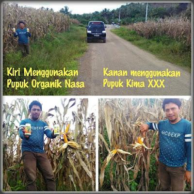 cara budidaya jagung yang baik, pupuk meningkatkan produksi panen jagung