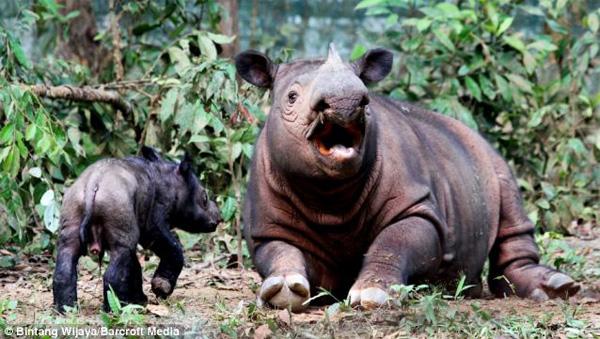 Badak Sumatera kembali melahirkan di Taman Nasional Way Kambas