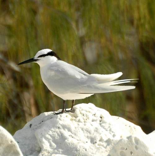 Indian birds - Picture of Black-naped tern - Sterna sumatrana