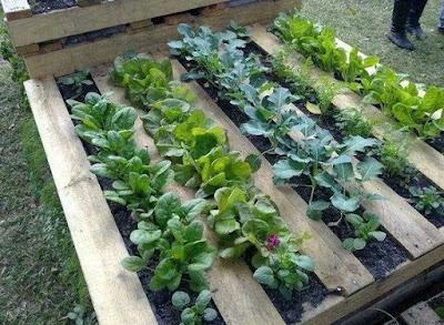 Cara mudah menanam sayur.