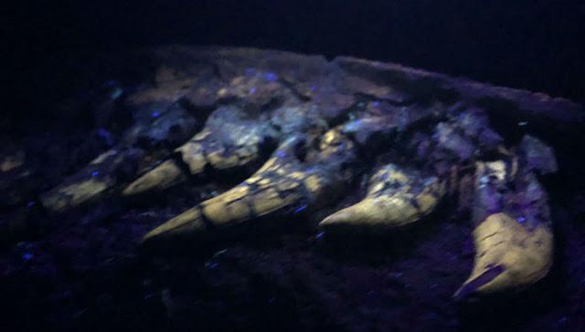 В США откопали детёныша тираннозавра. Видео.